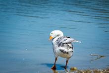 Pekin Duck Flapping Wings On Garden Lake In Rome Georgia.