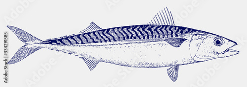 Photo Frigate tuna or mackerel, auxis thazard in side view, a migratory food fish livi