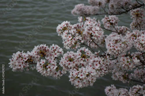 Fototapety, obrazy: Spring blooms in Washington DC during National Cherry Blossom Festival