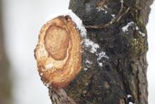 Baumschnitt Mit Baumwunde Und Schnee Im Winter
