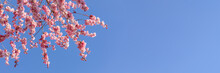 Close Up Of Bherry Blossom Branches Against Clear Blue Sky