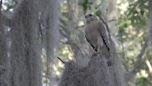 Red-shouldered Hawk Calls For Mate In The Shade Of Oak Trees In Orlando Florida