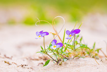 Viola Tricolor Curtisii Rare Wildflower, Blooming In Sand In The Dunes.