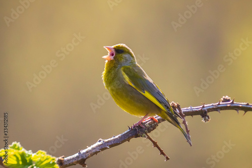 Greenfinch Chloris chloris bird singing