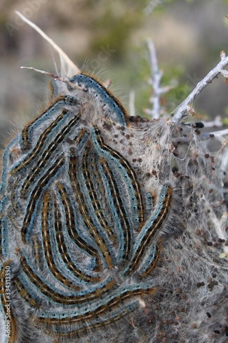 Western Tent Caterpillars, Malacosoma Californicum, congregating in their silken nest affixed to Desert Almond, Prunus Fasciculata, Joshua Tree National Park, Southern Mojave Desert Canvas Print