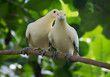 The couple of pied imperial pigeons (Ducula bicolor) in lowe
