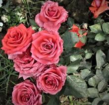 Cluster Of Pinkish Orange Rose...
