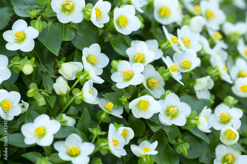 Photo Blossoming persian violet, Exacum affine