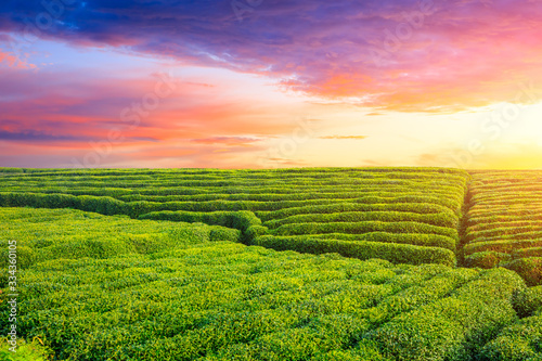 Vászonkép Green tea plantation at sunset time,nature background.