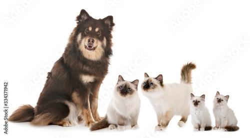 Finnish Lapphund and birman cats © cynoclub