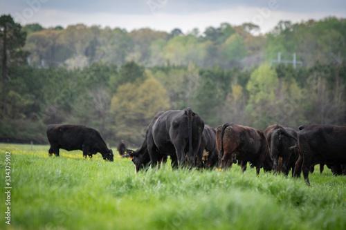 Angus herd grazing lush ryegrass Wallpaper Mural
