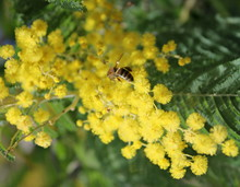 Bee On The Flowers Of Mimosa.