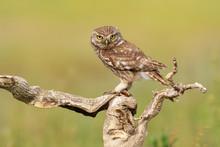 The Little Owl Athene Noctua. ...