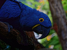 The Hyacinth Macaw, Anodorhync...