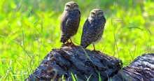 """The Burrowing Owl, Also Called Field Caburet, Beach Owl, Field Owl, Miner , Is Called The """"Burrowing Owl"""" For Living In Holes Dug In The Soil."""
