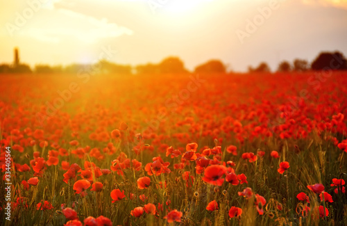Fototapeta Field with red poppies flowers at sunset. A beautiful view of the flowering of millions of poppies. Selective artful focus. obraz na płótnie