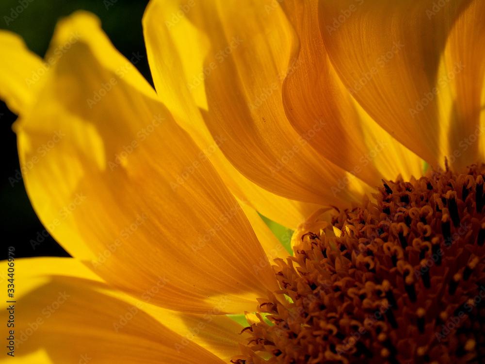 Fototapeta piękny słonecznik