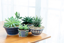Collection Of Various Cactus And Succulent Plants In Different Pots. Potted Cactus House Plants On Table