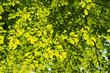 liście zielona drzewo
