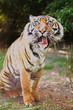 The tiger has a funny face