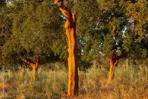 Alcornoques (Quercus suber) descorchados en una dehesa de Extremadura Wallpaper Mural