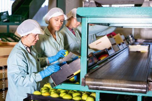 Fototapeta Focused women working on fruit sorting line at warehouse, checking quality of apples obraz