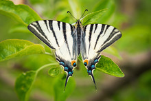 Beautiful Wings Details Of A Swallowtail Butterfly (Papilio Machaon).   Macro Picture With Natural Background