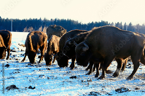 Obraz na plátne Aurochs bison in nature / winter season, bison in a snowy field, a large bull bu