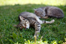 Couple Of Cats Sleeping On The Grass Outdoor In Summer