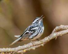 Black And White Warbler Singin...