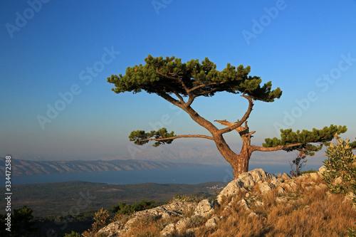 Fototapeta Pine tree on St. Nikola peak, highest peak of Hvar island, Croatia  obraz na płótnie