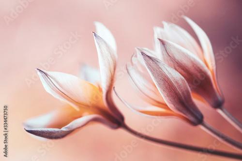 Obraz Tulipany botaniczne Tarda - fototapety do salonu