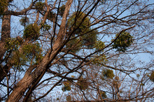 Tall Trees In Mistletoe On A Background Of Blue Sky In Spring