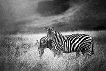 Two Zebra In Long Grass Plain