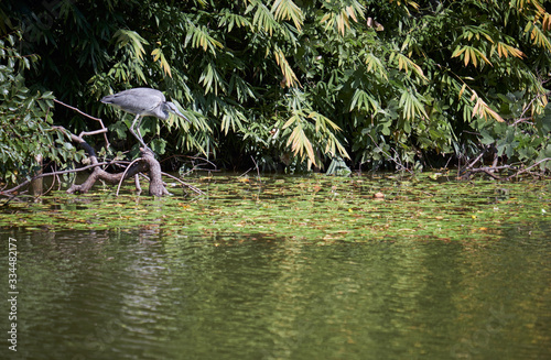 A young grey heron (Ardea cinerea) looking for the food in the water of pond Canvas Print