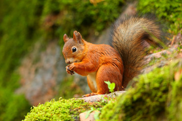 Red squirrel eating with green background