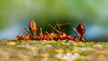 Fire Ant On Branch In Nature G...