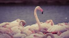 Flamingo Over Others Flamingos