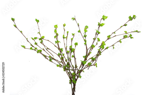Leinwand Poster white background branches small leaves spring / isolated on white young branches