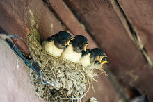 Chicks Swallows In Nest