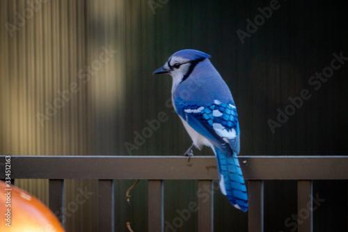 Photo Blue Jay