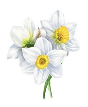 Watercolor Narcissus Bouquet I...