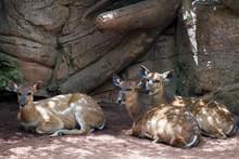 Sitatunga Antelope At The Biop...