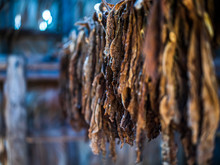 Tobacco Leaves Drying In A Air...
