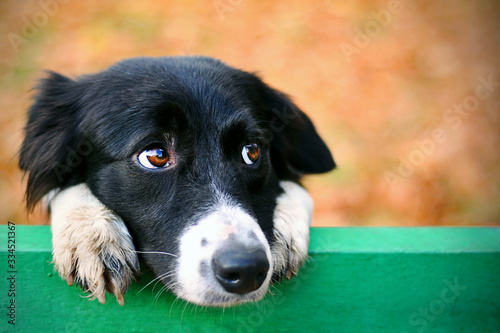 Fotomural Stray sad border collie dog in autumn park looking depressed