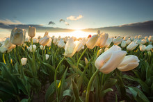 Field With White Tulips In Sun...