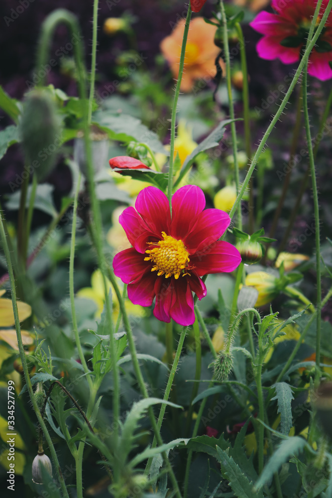 Close view of red dahlia blossom in a blurry background.Dahlia coccinea is a species in the genus Dahlia, in the family Asteraceae. Its common name is red dahlia.