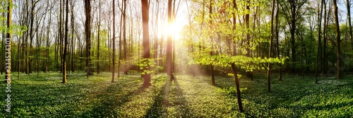 Fotomural Spring forest with bright sun shining through the trees