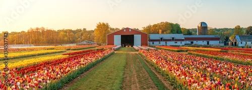 Obraz Tulip in farm - fototapety do salonu