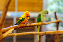 Sun Parakeet Sitting On A Perch. Aratinga Solstitialis Also Known As The Sun Conure, Vibrantly Coloured Parrot Native To South America